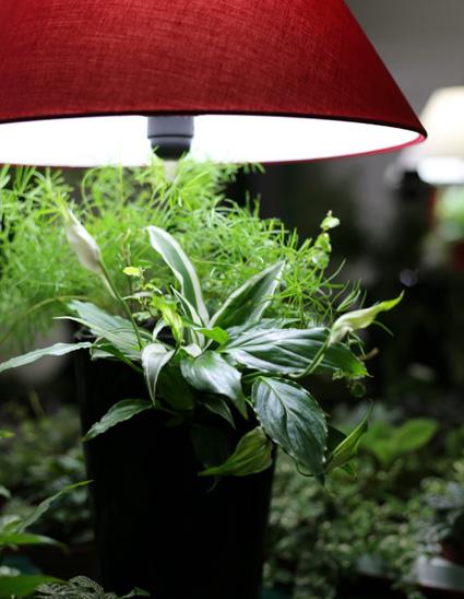 lumipouss changer la plante